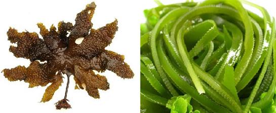 丹麦哥本哈根大学一项最新研究显示,使用海藻提取物可限制机体对能量的吸收,从而降低腰围和体重。 研究人员招募了96名肥胖参与者,随即分成两组。两组人群均食用相同的控制能量的饮食,一组饮食中添加了褐藻提取物(含15g纤维),另一组使用安慰剂。研究持续12周。 结果显示使用褐藻提取物的人群平均体重下降了6.